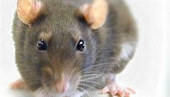 Nobelovku za bizarní výzkum dostala studie o sexualitě krys ve spodním prádle