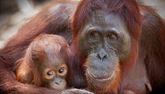 Vědci chtějí orangutany nově sčítat pomocí dronů s termokamerami