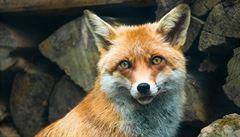Veterináři ročně vyšetří až 3000 zvířat na vzteklinu, hlavně lišky