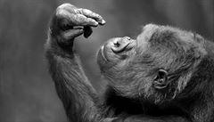 Nejstarší známé gorile světa se narodilo pravnouče