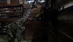 Brněnská zoo slaví další přírůstek: narodilo se žirafí mládě