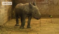 Mládě nosorožce se předvedlo návštěvníkům Zoo ve Dvoře Králové