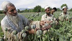 Měli jsme výbornou sklizeň, libují si výrobci opia. Těží z něj ale hlavně Taliban