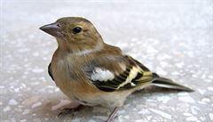 Zeptejte se vědců: Proč někteří ptáci po zemi chodí, a jiní poskakují?