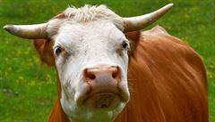 Hit indických e-shopů? Sušený kravský trus. Slouží jako palivo i hnojivo