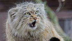 Brněnská zoo odchovala čtyřčata divoké kočky manul