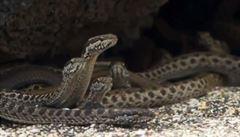 Armáda hadů vs. mládě leguána. BBC natočilo strhující lov predátorů