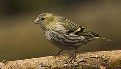 """Ptáci se o své potomky starají """"na směny"""" jako lidé"""