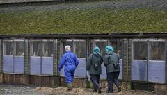Nizozemsko dále vybíjí tisíce ptáků pro podezření na ptačí chřípku