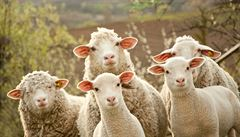 Veterináři varují před zákeřným onemocněním ovcí a koz. Objevilo se v Bulharsku