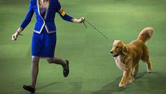 Šampionkou výstavy psů v Brně je fenka hladkosrstého retrívra