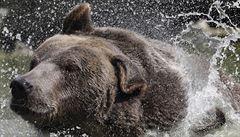 Na myslivce na Slovensku zaútočil při návratu z lovu medvěd, zahnaly ho až varovné výstřely kolegů