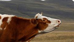 Místo pastviny Sahara. Chovatelé posílají dobytek na předčasnou porážku, příští rok bude méně mléka