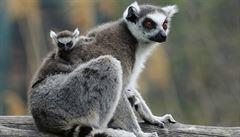 Hotel na severu Anglie nabízí hodiny jógy s lemury