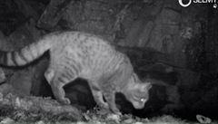 Na Šumavě se objevila šelma připomínající kočku divokou