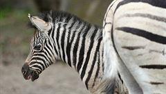 Biolog se převlékl za zebru. Chtěl zjistit, proč mají pruhy
