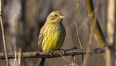 Ptačí nářečí. Na Novém Zélandu zpívají strnadi jako v Británii před 150 lety
