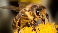 V Česku hynou včely? Očekáváme největší masakr v dějinách, říká včelař