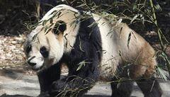 V Číně uhynula nejstarší panda světa držená v zajetí, bylo jí 37 let
