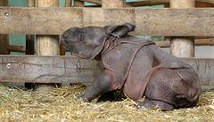 Tak vypadá malé nosorožčí mládě. V zoo v Plzni jej představí v březnu