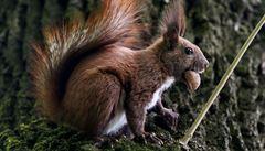 Británie chce sterilizovat ,americké' veverky. Vytvoří armádu dobrovolníků