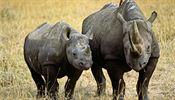 4447d0060b6 Nosorožec je impozantní zvíře. Při setkání budí nesmírný respekt.