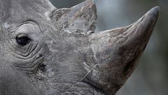 Čína odložila zrušení zákazu obchodování s tygřími kostmi a rohy nosorožců
