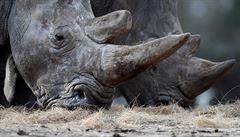 Milionová zásilka. Jihoafričtí policisté zabavili pytlákům 167 nosorožčích rohů, zatkli dva podezřelé