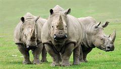 Vědci připravují unikátní zákrok na záchranu nosorožců