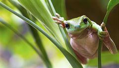 Vědci objevili, že rosnička z Amazonie fluoreskuje