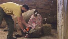 Nosorožec ze zoo Dvůr Králové přišel o svůj roh kvůli pytlákům