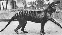 Vědci se vydají za tasmánským vlkem. Vyhynulý živočich byl údajně spatřen v Austrálii