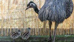 Zeptali jsme se vědců: Proč jsou vejce emu zelená?