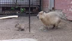 Brněnská zoo ukázala měsíční mládě kapybary. Připomíná přerostlou krysu