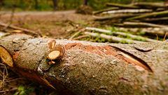 Monitoring lesů. Pomohou psi zvládnout kůrovcovou kalamitu?