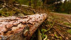 Těžba dřeva stoupla, ceny se však propadly. Kůrovec připravil Lesy ČR o takřka 3 miliardy