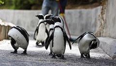 V 'prokleté' košické zoo uhynul další tučňák. Samička z Prahy