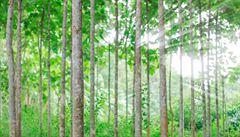 Lesy ČR mají teakovou plantáž v Nikaragui. Ztrátový projekt se nedaří prodat
