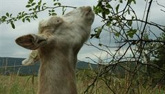 Češi se složili na kozy a prasata pro nejchudší Rwanďany