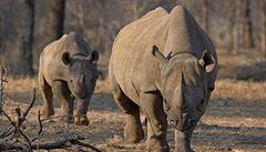 Kontroverzní aukce. V USA dražili právo na lov neplodného nosorožce