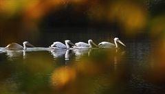 Zmatená zvířata v teplém Rusku: medvědi odmítají spát, pelikáni letí na Sibiř