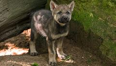 Vraní hory jsou dalším místem na východě Čech,kde se usadili vlci