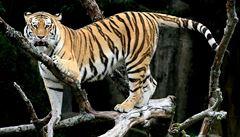 V Indii řádí zběsilá tygřice, zabila už 13 lidí. Chtějí ji chytit na parfém