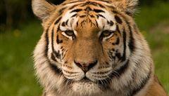 Zlínská zoo má nového tygra, doufá v mláďata a oživení chovu