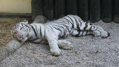 Liberecká zoo zvažuje konec chovu bílých tygrů. Lidé podepisují petici za jejich zachování