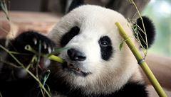V hongkongské zoo se po deseti letech úspěšně pářily pandy, šance na nový přírůstek je reálná