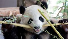 Půjčování pand z Číny jako diplomatická hra? To není úkol pro prezidenta, reaguje Hrad