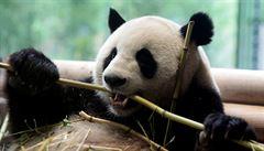 Kanadská zoo vrátí do Číny zapůjčené pandy, kvůli pandemii chybí bambus