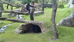 VIDEO: Gorilí samec Nuru si užívá pěkného počasí a řádí na laně mezi stromy