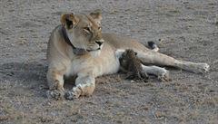 Lvice v Tanzanii si adoptovala osiřelé leopardí mládě. Odborníci jsou v šoku